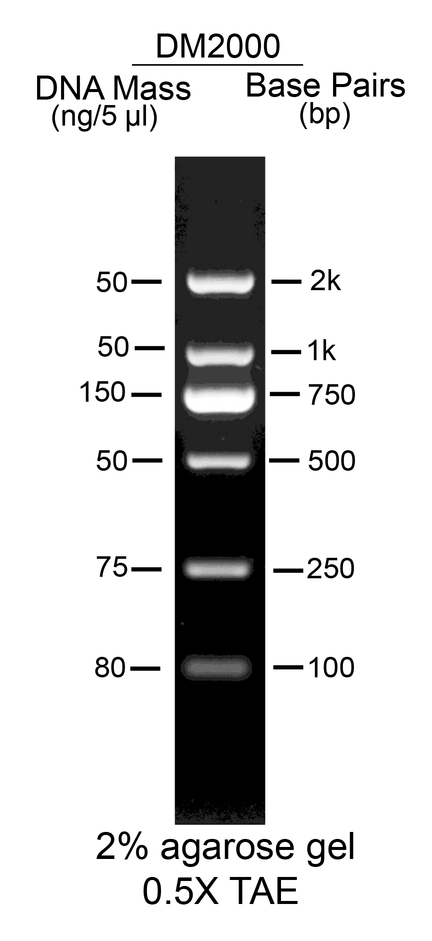 AccuBand™ 100 bp DNA Marker II, 500 μl